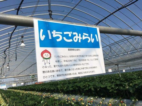 イチゴ未来