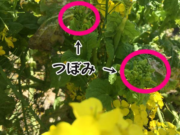 菜の花 つぼみ