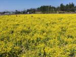 福ふくの里 菜の花