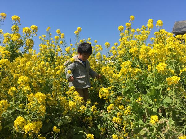 福ふくの里 菜の花狩り